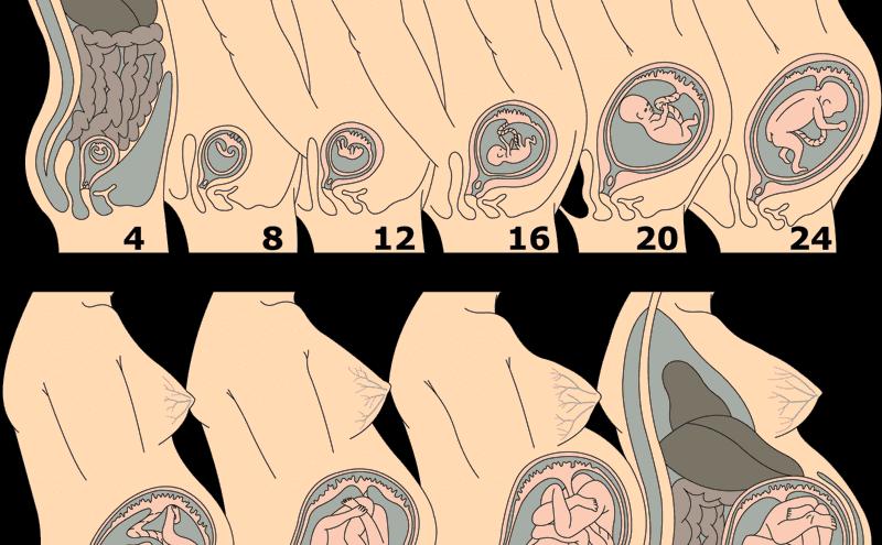 Hamileliğin Oluşumu Aşamasındaki Gelişmeler
